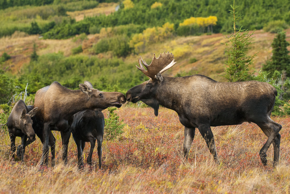 A bull moose touches noses with a cow with two calves during the autumn rut. A cow moose will mate with a bull, even if she has...